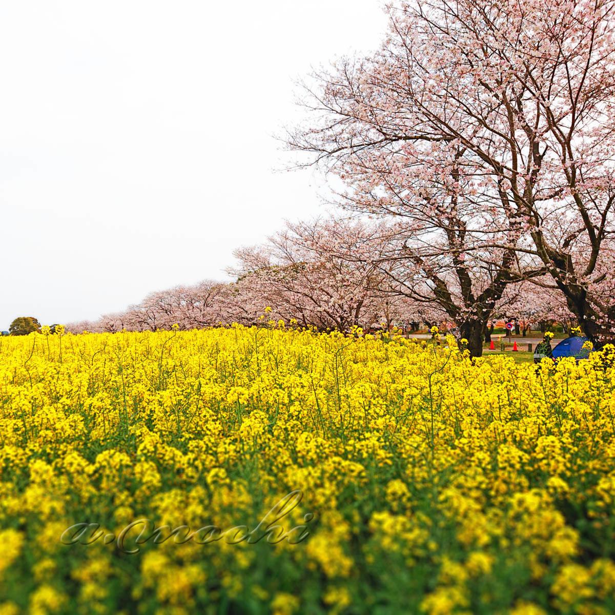 saitobaru_sakura1_200403.jpg