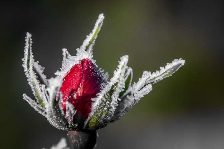 blossom-plant-flower-petal-frost-rose-757852-pxhere-com.jpg