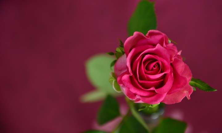 plant-flower-petal-celebration-love-rose-893577-pxhere-com.jpg