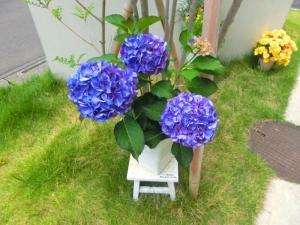 爽やかな色の紫陽花♪