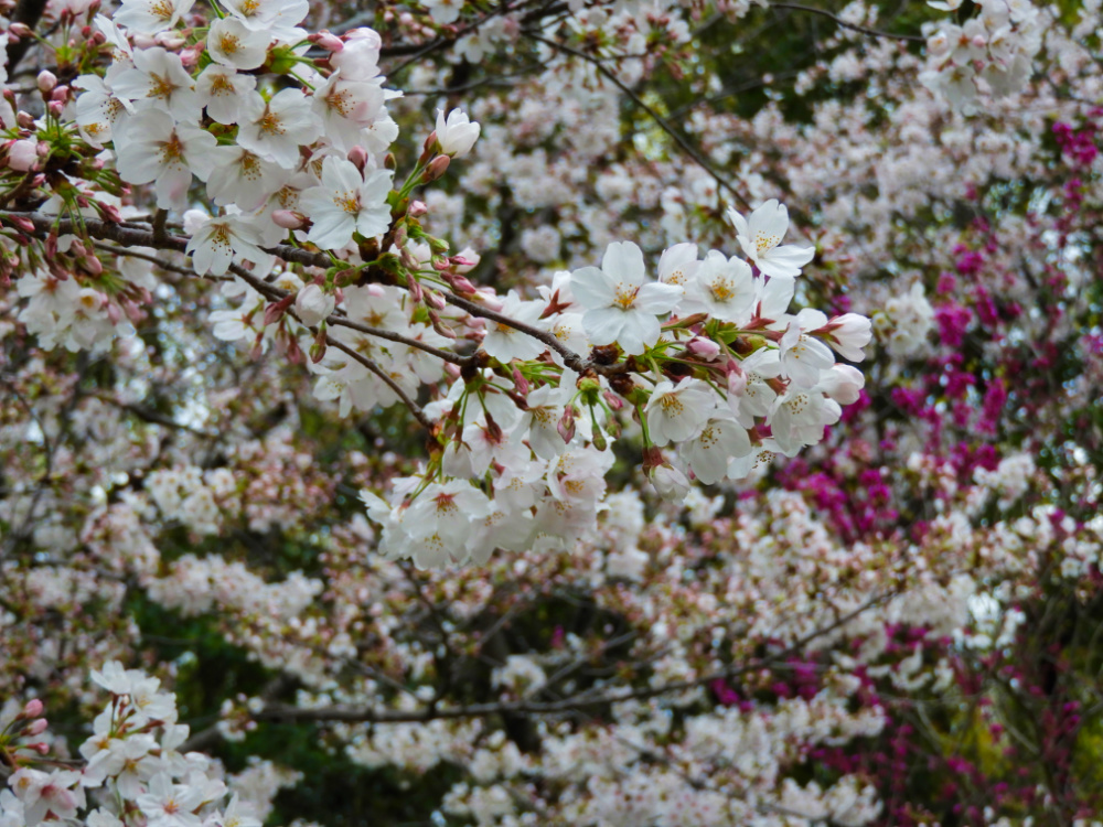 桜DSCN8149