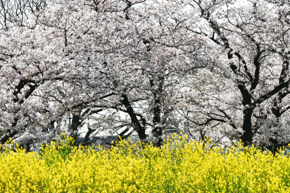 桜DSC_9419