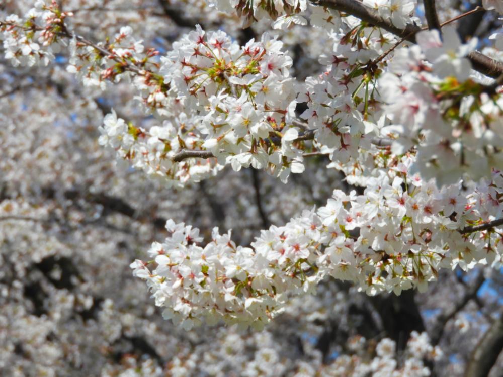 桜DSCN8155