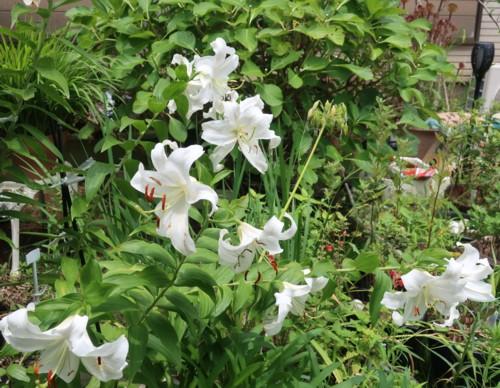 garden lily072120 (20)