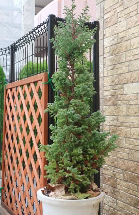 conifer (50)