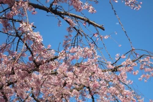 Sakura Mankai21 (50)