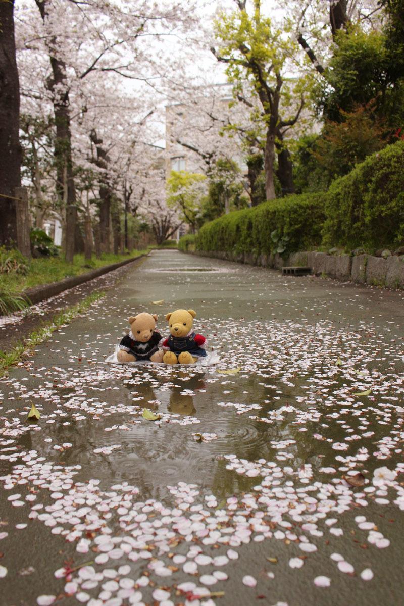 水溜とソメイヨシノと 市民文化会館裏遊歩道で 200413