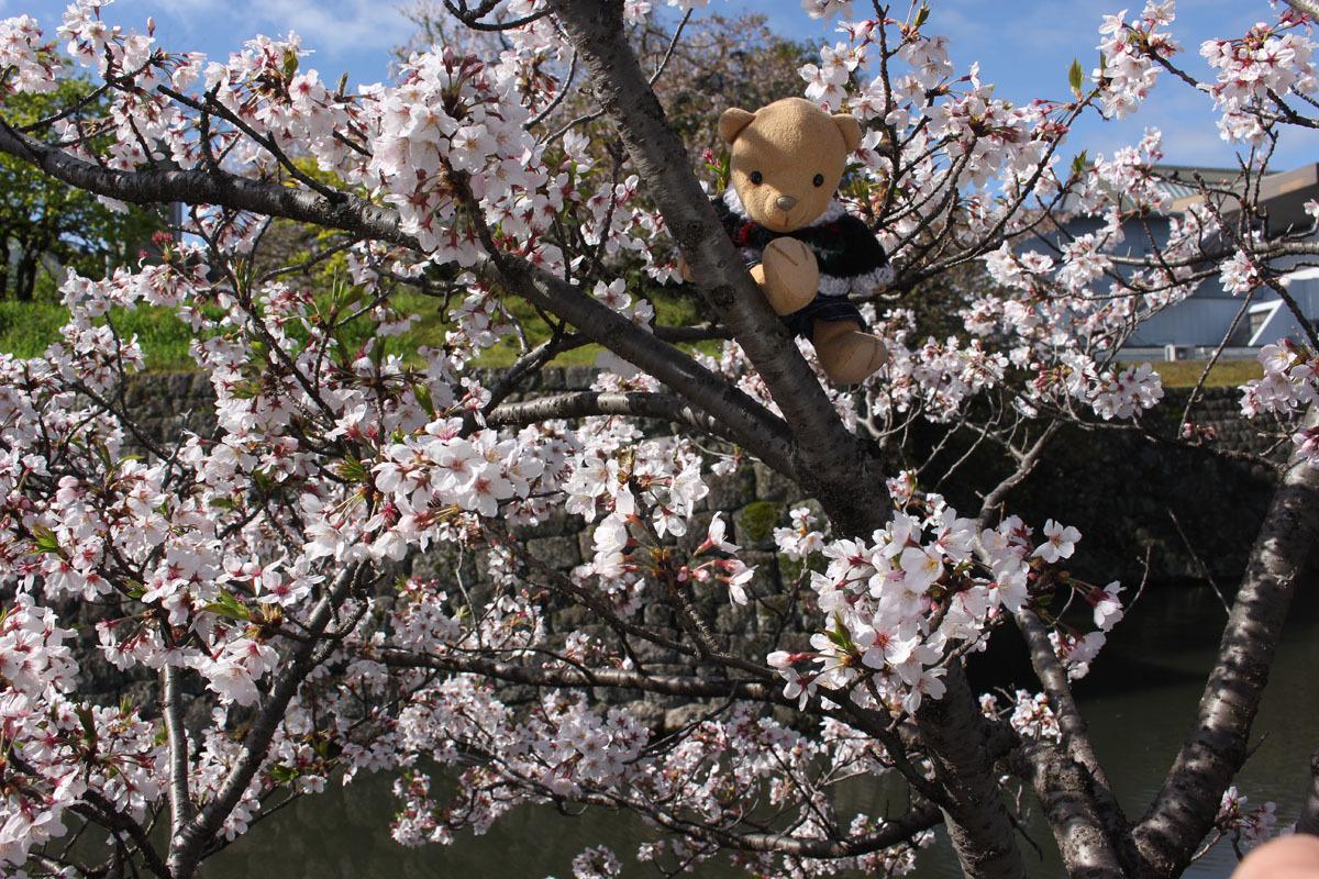 ソメイヨシノの枝に 外堀北側 200414