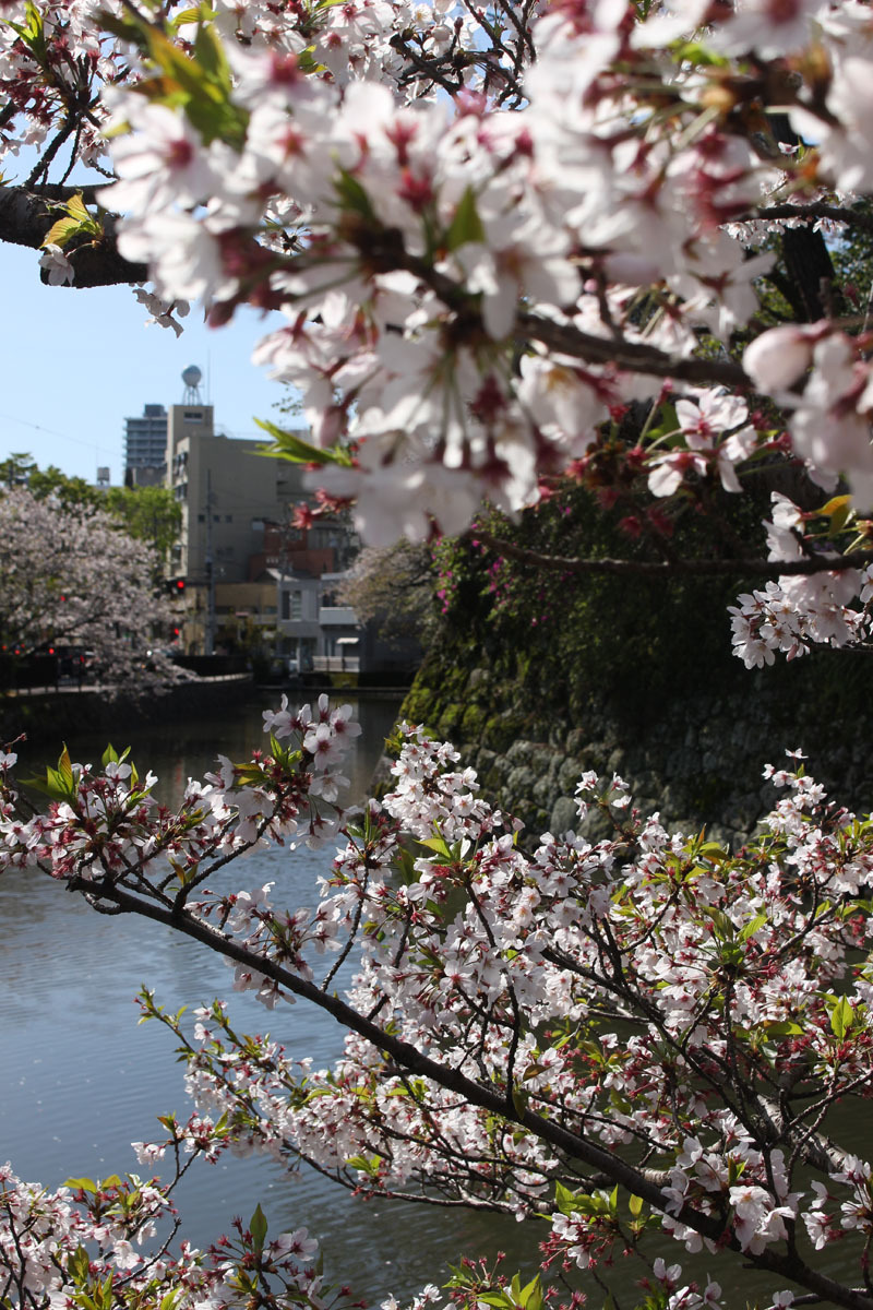 外堀北側の桜 200414
