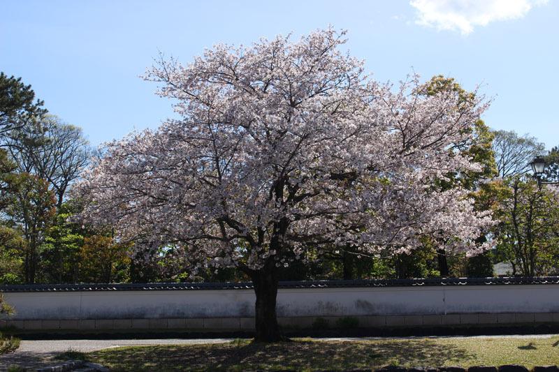 ソメイヨシノ 駿府城公園 200414