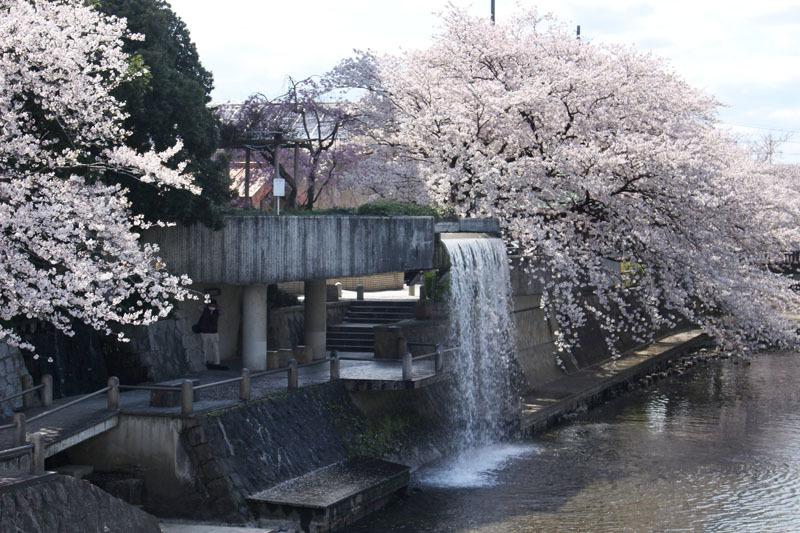 水門川船溜 滝 ソメイヨシノ 200405