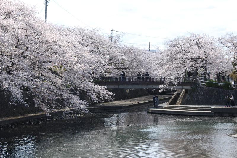 美登鯉橋 水門川船溜 ソメイヨシノ 200405