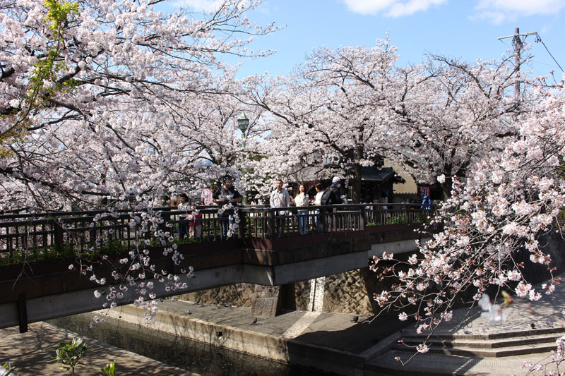 美登鯉橋とソメイヨシノ 200405