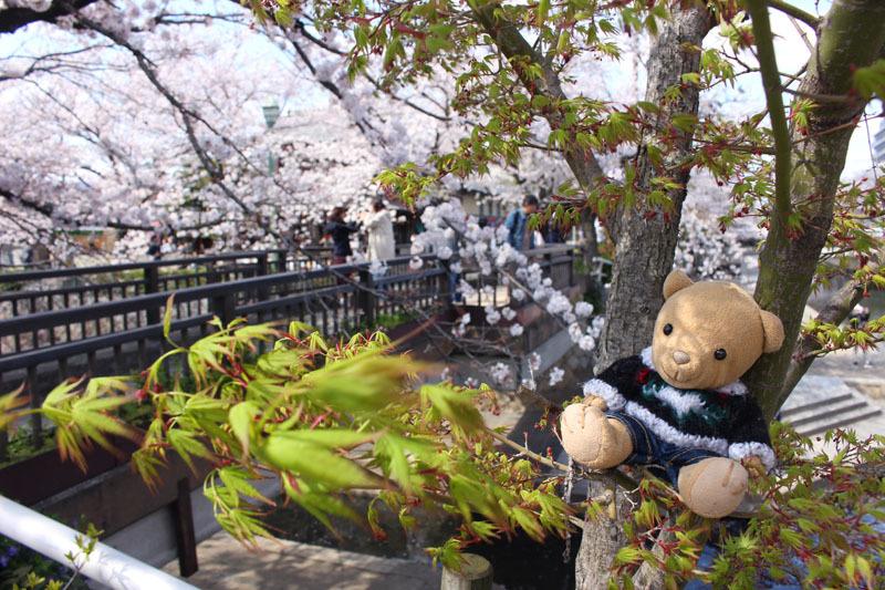 美登鯉橋と桜と 200405
