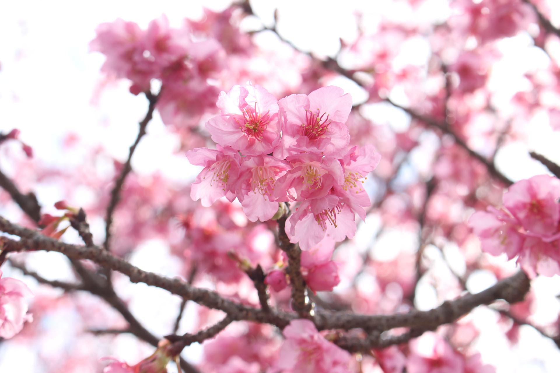 河津桜? (部分) 香貫公園 210122・1920×1280