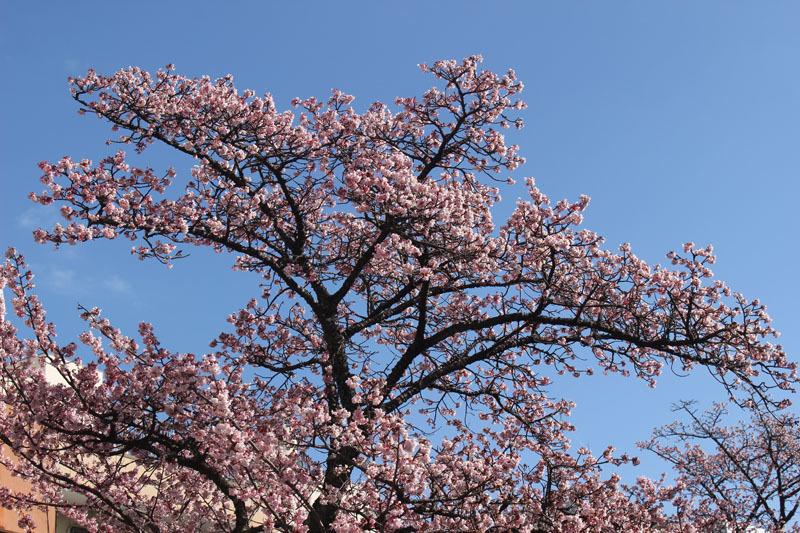 あたみ桜 糸川沿い 210205