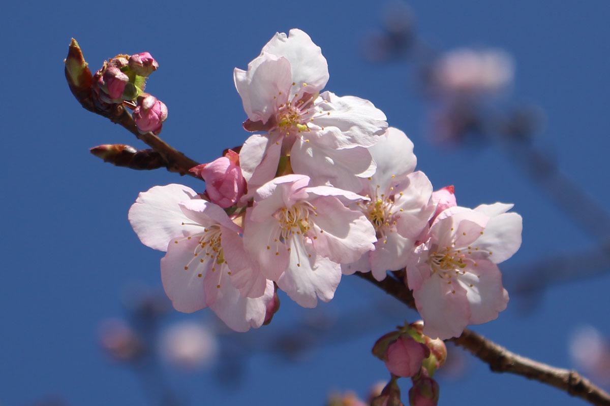 伊東小室桜 駿府城公園 210206