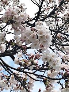 2020年 粟津温泉 桜