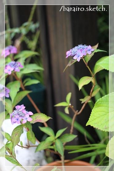 山紫陽花202006-11