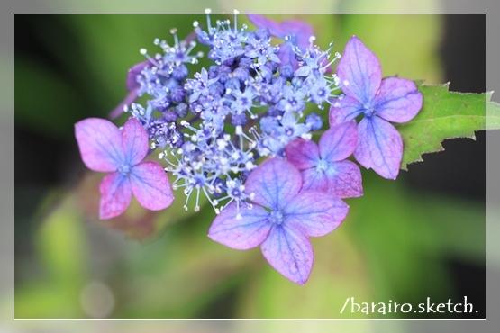 山紫陽花202006-12