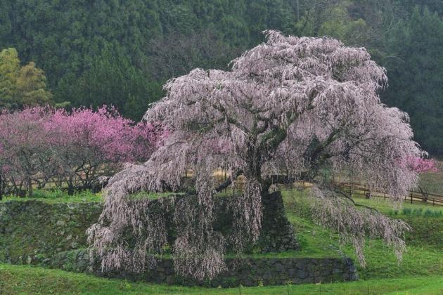 桜200329-01
