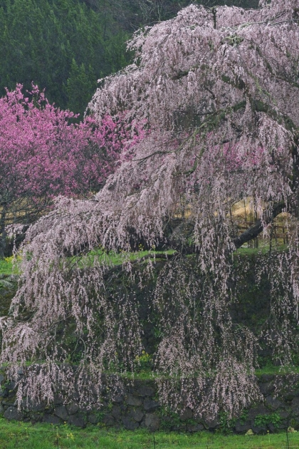 桜200329-03