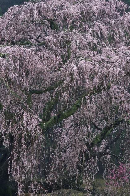 桜200329-04
