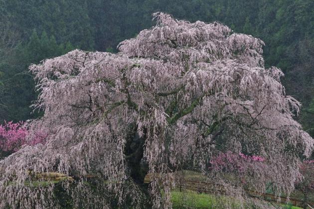 桜200329-05