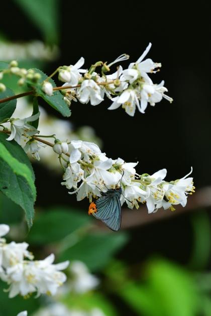 アオバセセリ200530-16