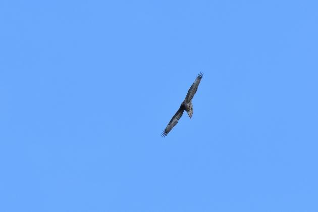 ハチクマ200927-05