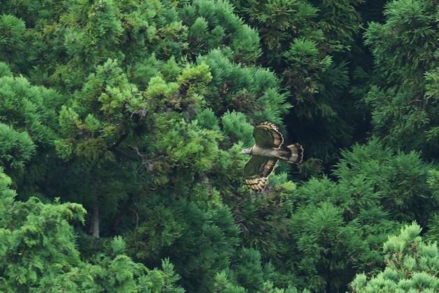 ハチクマ200712-03
