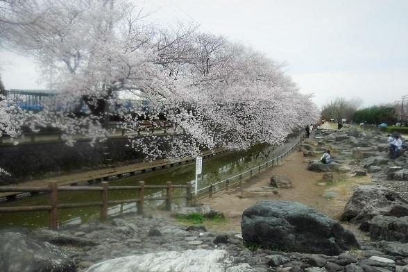 1 20.3.28 宮城まり子、大久保浄水場の🌸、映画幸せの黄色いハンカチ (58)