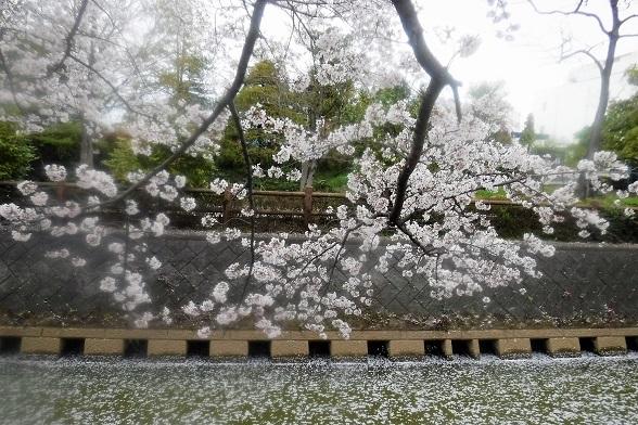 3 20.3.28 宮城まり子、大久保浄水場の🌸、映画幸せの黄色いハンカチ (160)