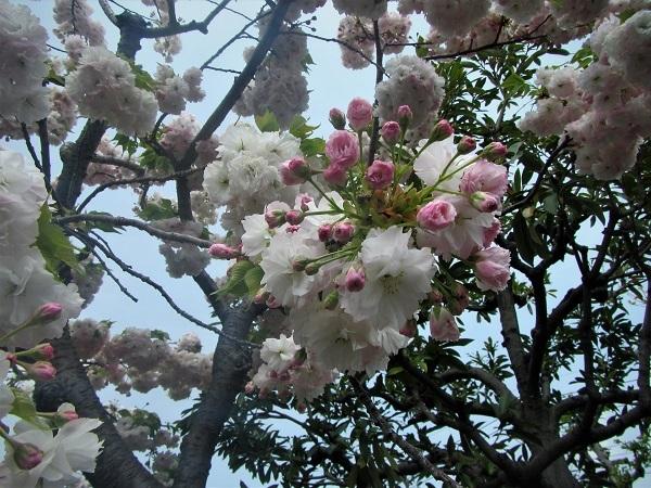 B 20.4.16 散歩、映画歌行燈ほか (65)