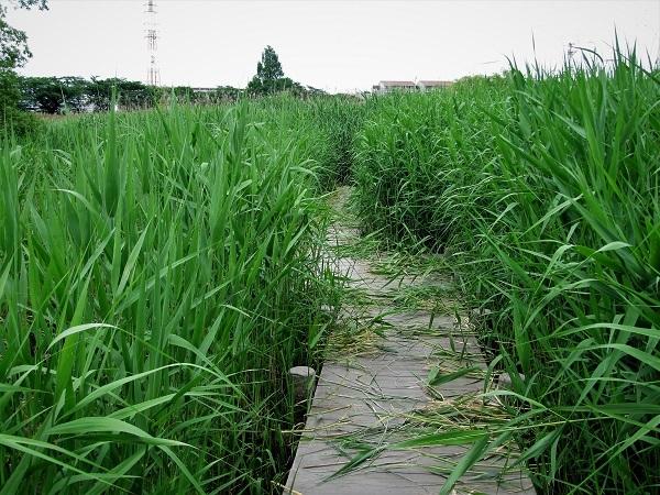 7 20.5.28 氷川神社アジサイまで1週間、三橋運動公園トンボ (89)