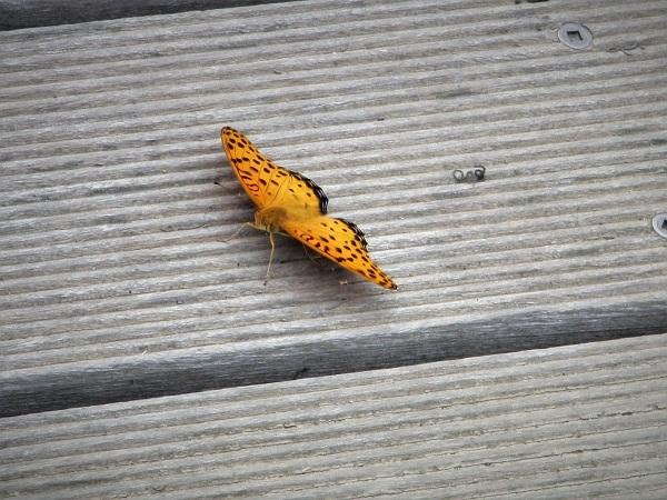 3.5 20.6.24 ママチャリ水辺の里~玉虫と蝶 (31)