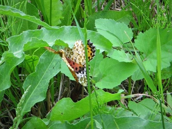 4 20.6.24 ママチャリ水辺の里~玉虫と蝶 (33)