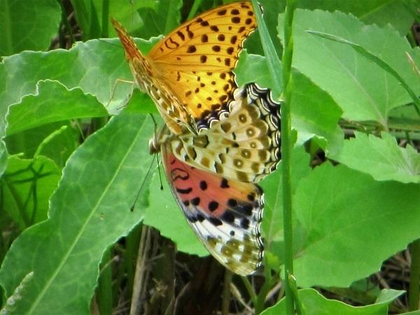 6 20.6.24 ママチャリ水辺の里~玉虫と蝶 (46)
