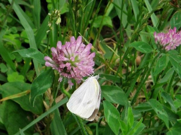 10 20.6.24 ママチャリ水辺の里~玉虫と蝶 (66)