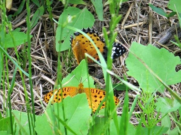 7 20.6.24 ママチャリ水辺の里~玉虫と蝶 (56)