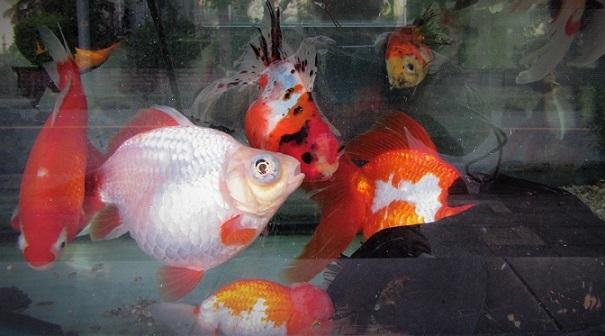 20.10.26 巨大金魚の水槽 (13)