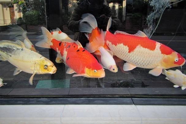 20.10.26 巨大金魚の水槽 (33)