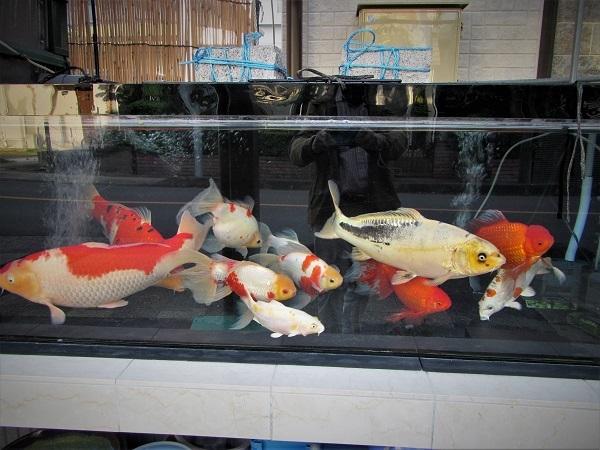 20.10.26 巨大金魚の水槽 (35)