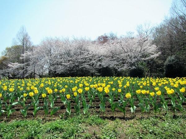 3 チューリップ 21.3.26 🌸花の丘公園  (81)