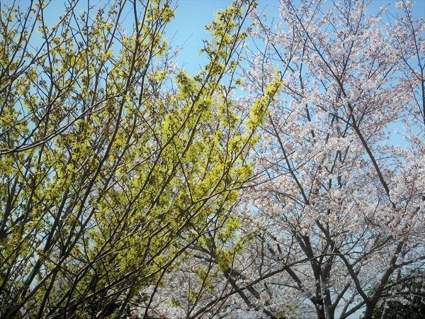 4 マンサク 21.3.26 🌸花の丘公園  (51)