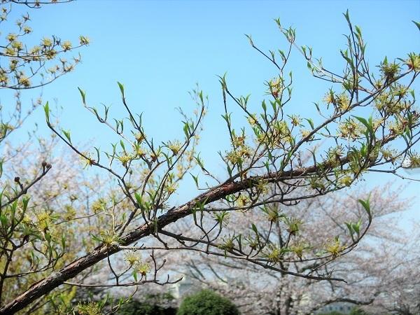 5 サンシュウ  21.3.26 🌸花の丘公園  (61)