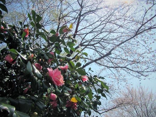 6 椿 21.3.26 🌸花の丘公園  (64)