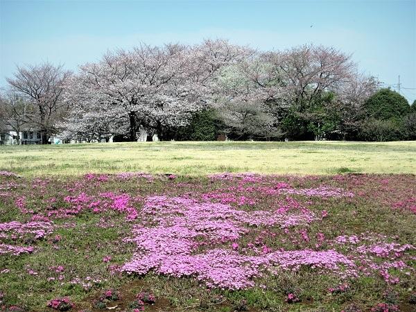 7 芝桜 21.3.26 🌸花の丘公園  (49)
