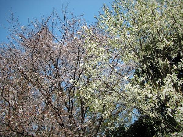 11 コブシ 21.3.26 🌸花の丘公園  (60)