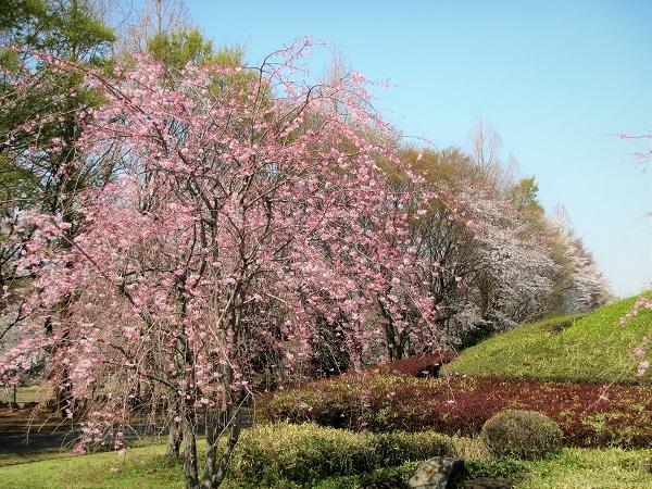 12 しだれ 21.3.26 🌸花の丘公園  (26)